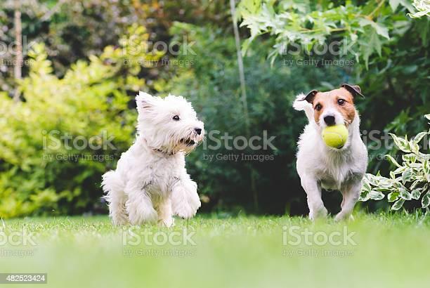 Two dogs playing with a ball picture id482523424?b=1&k=6&m=482523424&s=612x612&h=bihckyimwfsagaq9z06xn150bhkuawxc58wiy6 mdsq=
