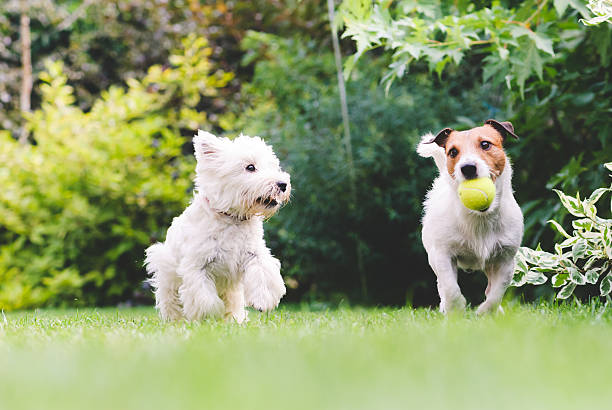 Two dogs playing with a ball. stock photo