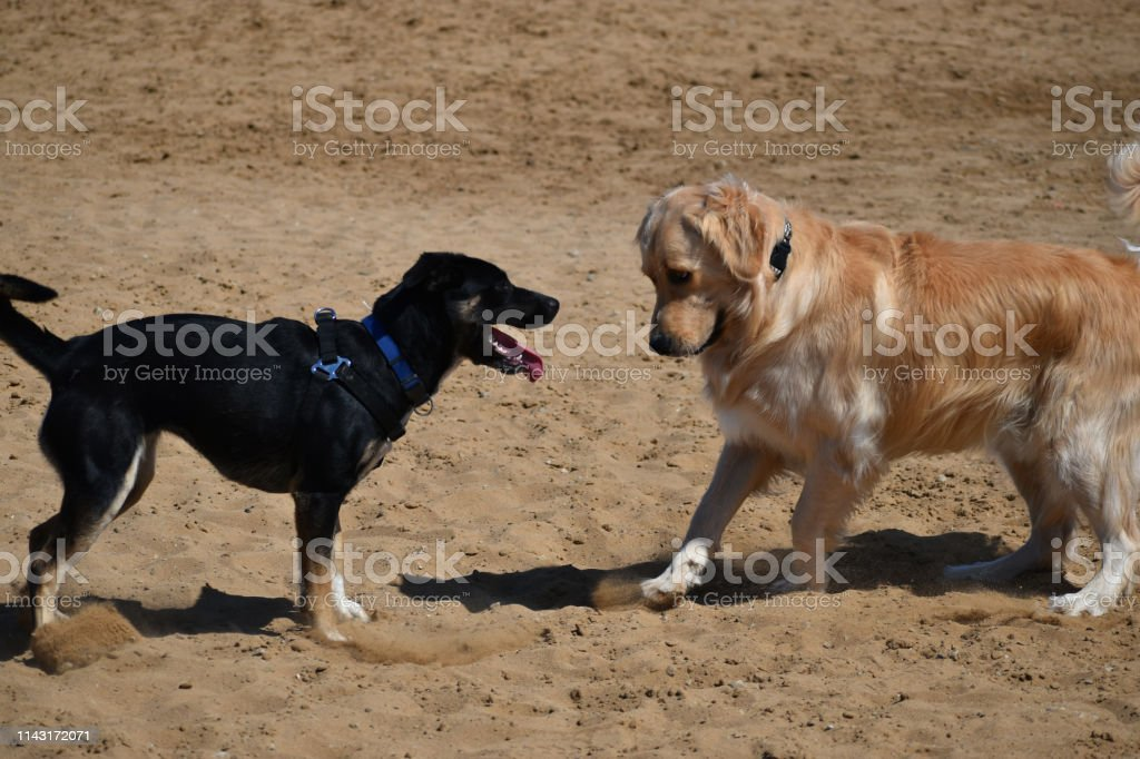 Two Dogs Playing with Golden Retriever Looking stock photo