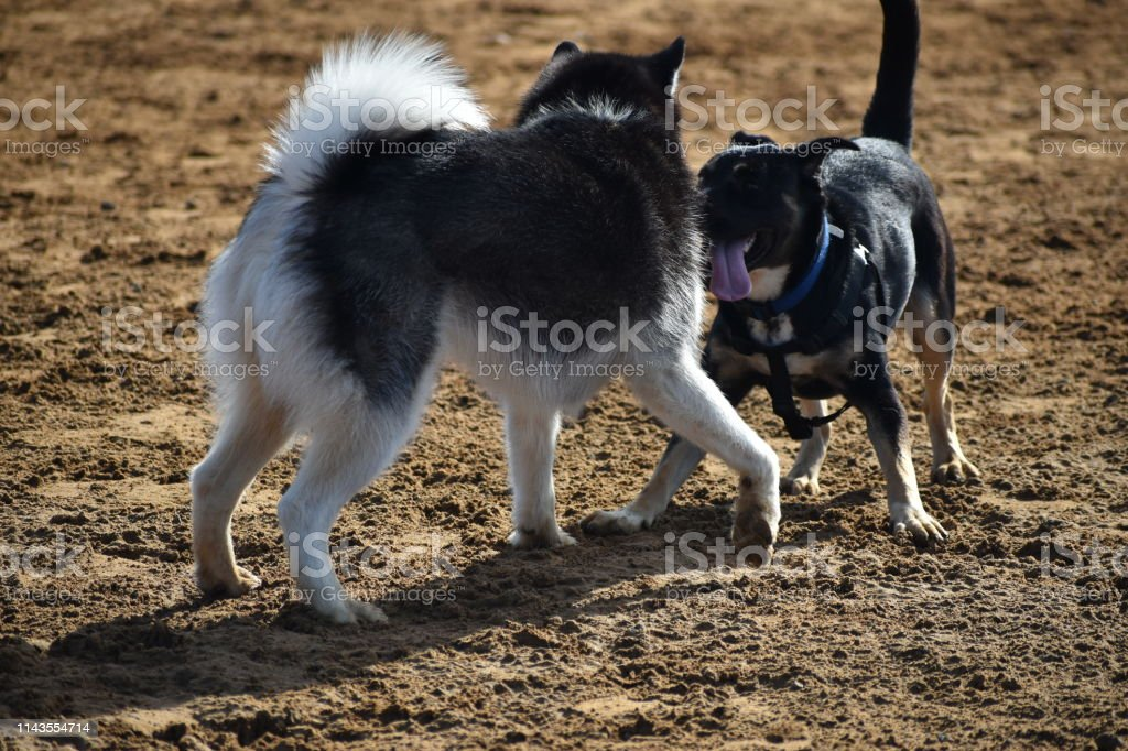 Two Dogs Playing with Husky and Black Dog stock photo