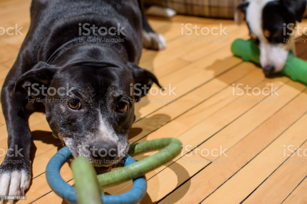 Two dogs playing with toys in dog playroom stock photo
