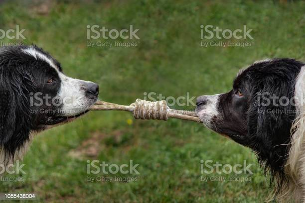 Two dogs pull on the rope picture id1055438004?b=1&k=6&m=1055438004&s=612x612&h=mrajrrysr1zbojmnoorcs8j6kyx1kgx o7zdbomssck=