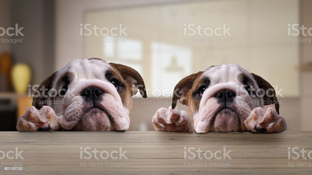 Two dogs, puppies at the table in the kitchen stock photo