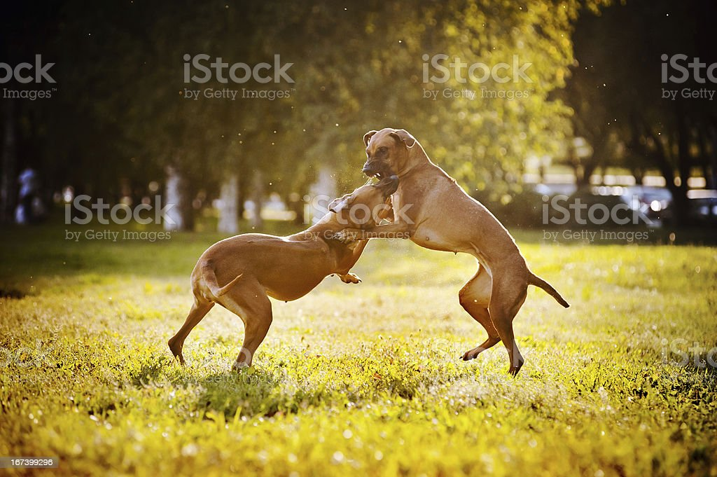 two dogs ridgeback playing royalty-free stock photo