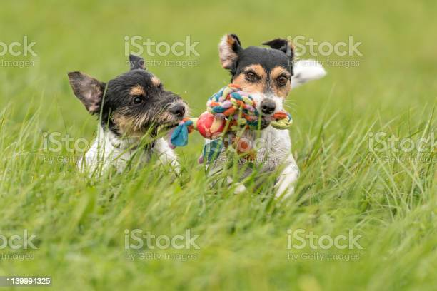 Two dogs run and play with a ball in a meadow a young cute jack picture id1139994325?b=1&k=6&m=1139994325&s=612x612&h=qxmbesmc3hynzn56wwsmwyboyfasplngstxj1j9ppqq=