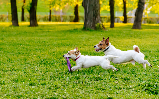 Two dogs running at park lawn playing with puller toy