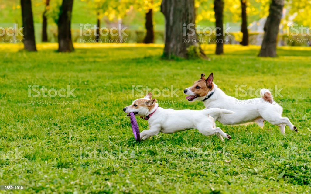 Two dogs running at park lawn playing with puller toy stock photo