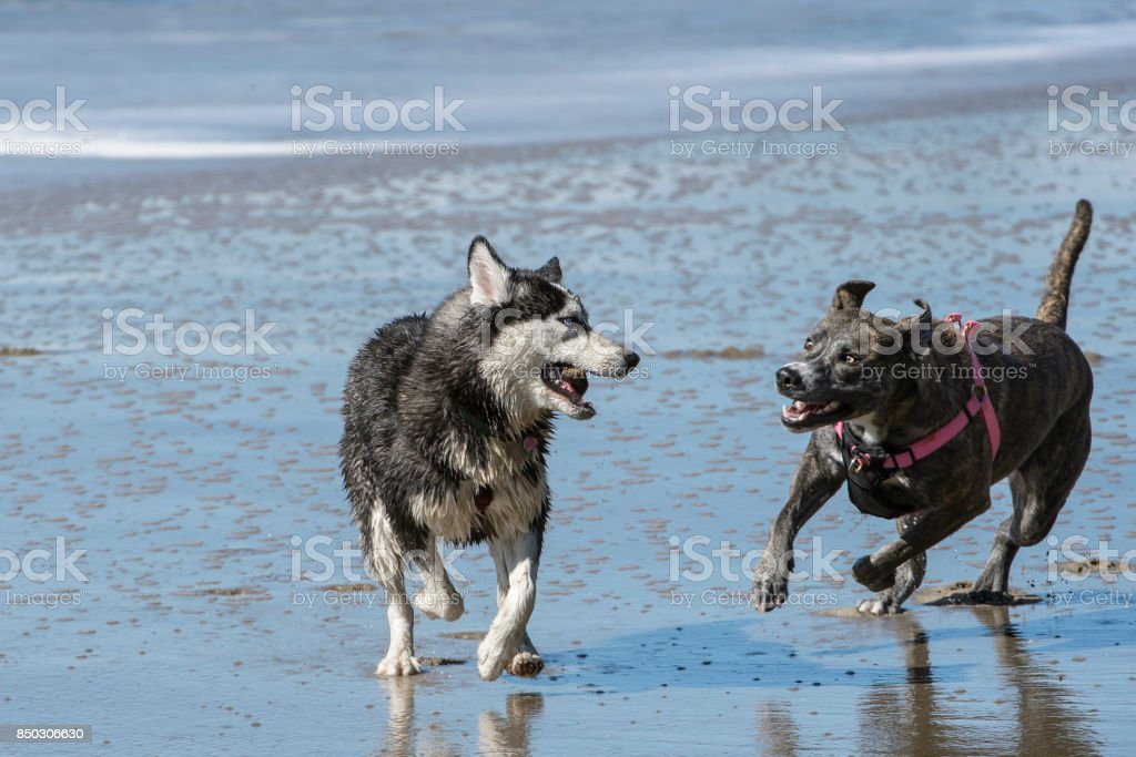 Two dogs runing on ocean beach, with waves in background.