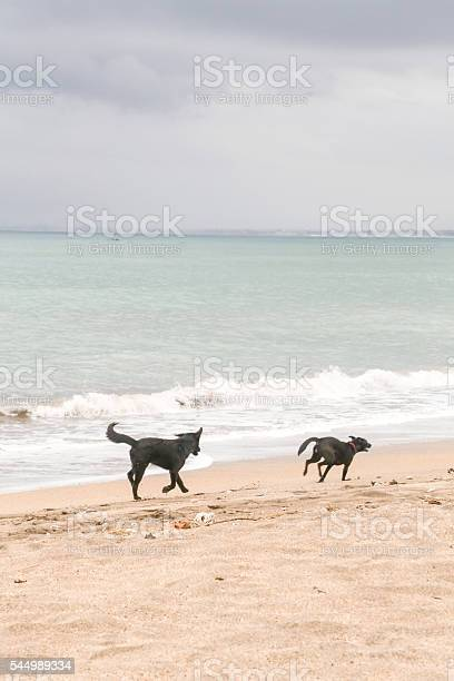 Two dogs running on the empty beach picture id544989334?b=1&k=6&m=544989334&s=612x612&h=oeundbomjizk hl7u392 osp8ofmqyf6rhh bzxhvpy=