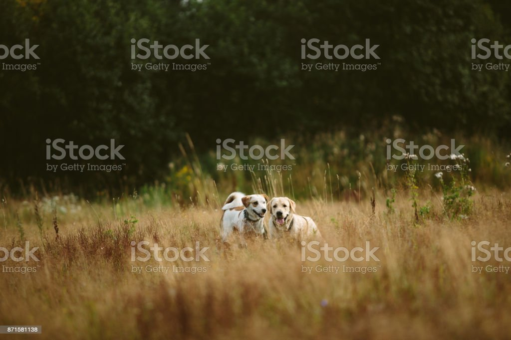 two dogs running on the field stock photo