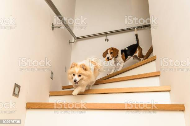 Two dogs running with a toy picture id929976738?b=1&k=6&m=929976738&s=612x612&h=tuzktfh2apjaj3jd4k4gjb2qelco95qdj9xly0ukkhg=