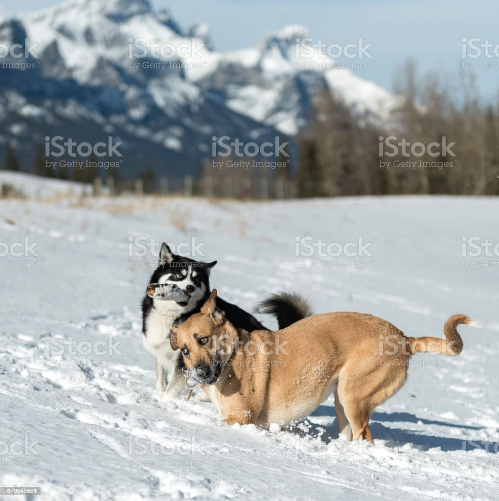 Two dogs running with stick and funny expressions stock photo
