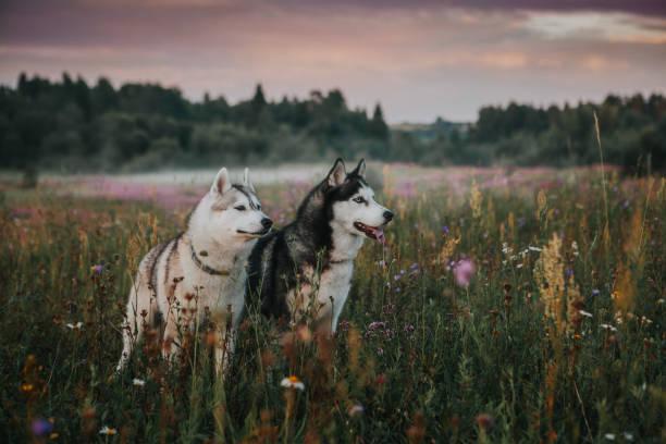 Zwei Hunde sibirischen Husky in der Natur – Foto