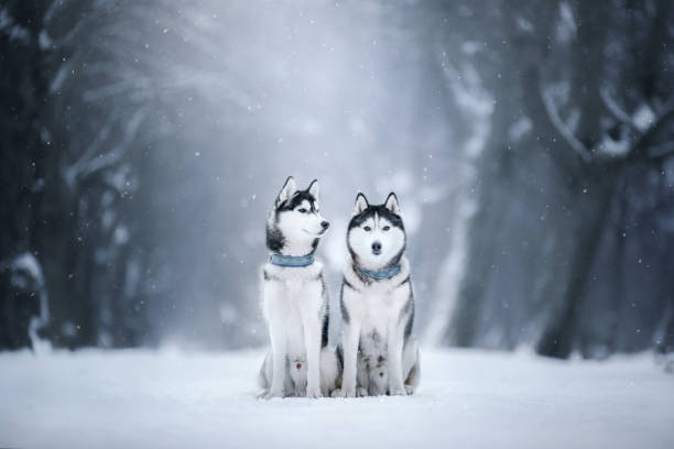 Two dogs Siberian Husky in the snow Two dogs Siberian husky sitting on the snow in the park sled dog stock pictures, royalty-free photos & images