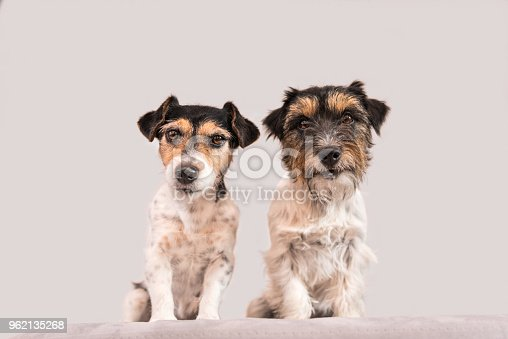 885056264 istock photo Two dogs sit side by side in front of white background - Jack Russell Terrier - hair style broken and rough - 8 and 2 years old 962135268