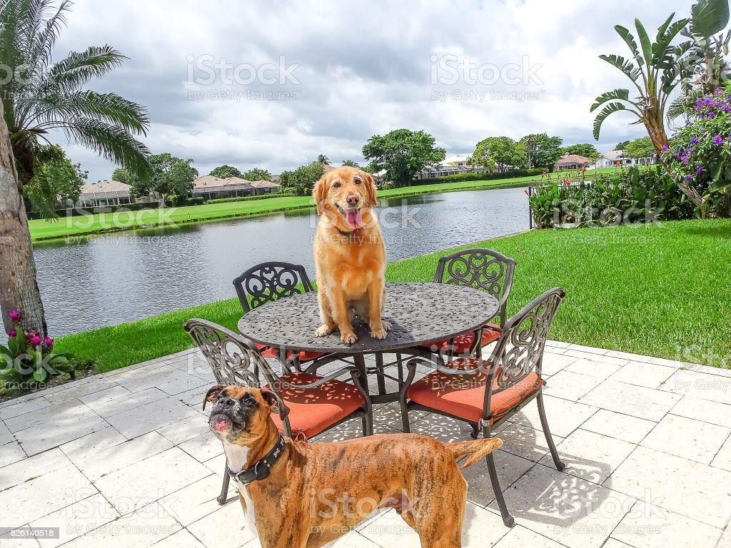 two dogs sitting on the patio of a tropical backyard stock photo