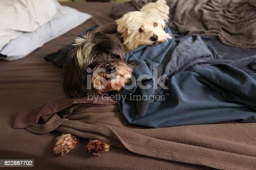 istock two dogs sleep on the bed 822887702
