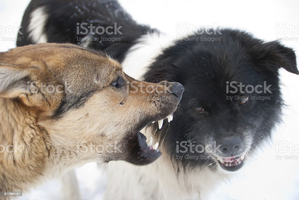 Two dogs snarling at one another royalty-free stock photo