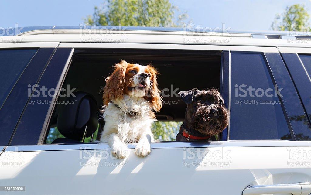 Zwei Hunden reisen mit dem Auto – Foto