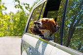 istock Two dogs traveling in car 538582988