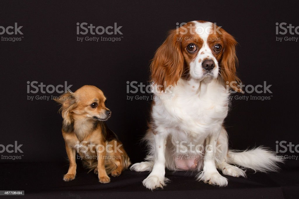 Two dogs under black background stock photo