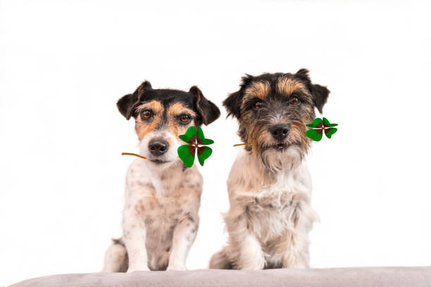 Two dogs wearing fourleaf clover leaves jack russell terrier picture id856158750?b=1&k=6&m=856158750&s=612x612&w=0&h=askclmqbfmr j6vy3watfdbe5zu wlhckrbkqqni238=