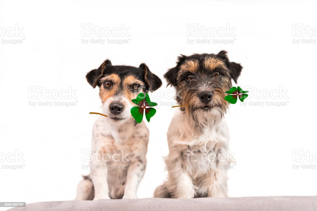 two dogs wearing four-leaf clover leaves - Jack Russell Terrier stock photo