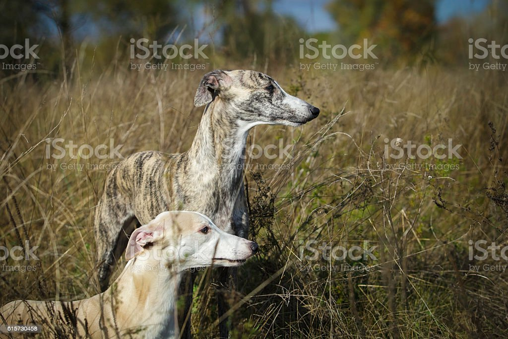 Two dogs Whippet for a walk in field stock photo
