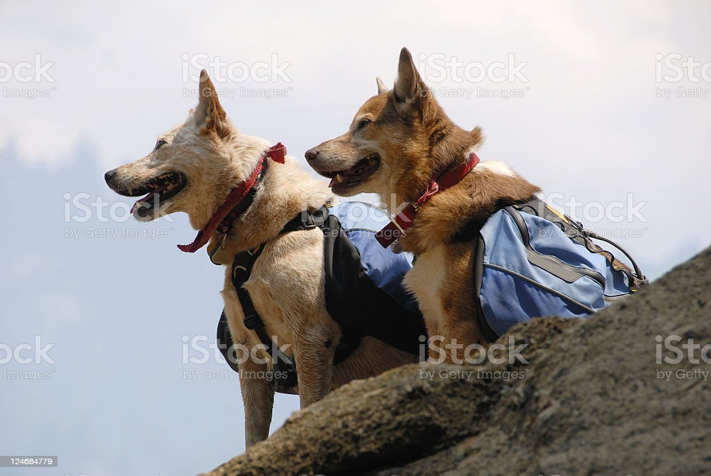 Two dogs with back packs on a cliff stock photo