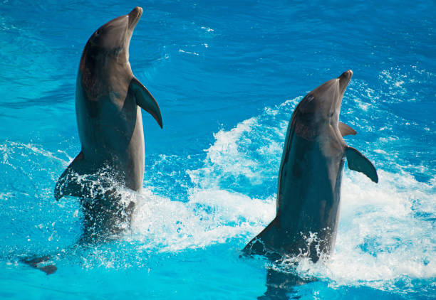 two dolphins dancing in water. - animals in captivity stock pictures, royalty-free photos & images