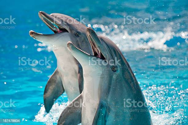 Two dolphins in a blue water picture id157478834?b=1&k=6&m=157478834&s=612x612&h=vyp3tqkt2ssolww9wl2n7lnlh11ji6cbejeixul4kh8=