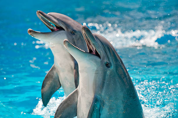two dolphins in a blue water - animals in captivity stock pictures, royalty-free photos & images
