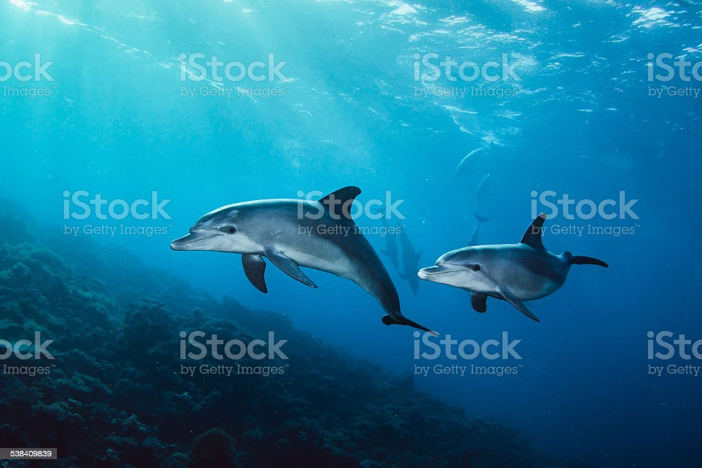 two dolphins in the sea stock photo