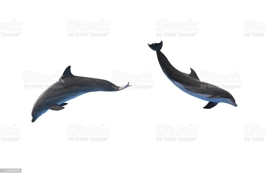 Two dolphins isolated on white stock photo