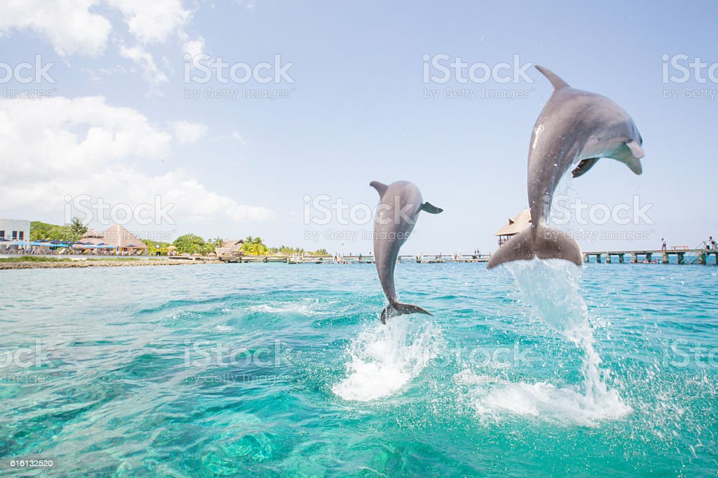 Two dolphins jumping from the ocean stock photo