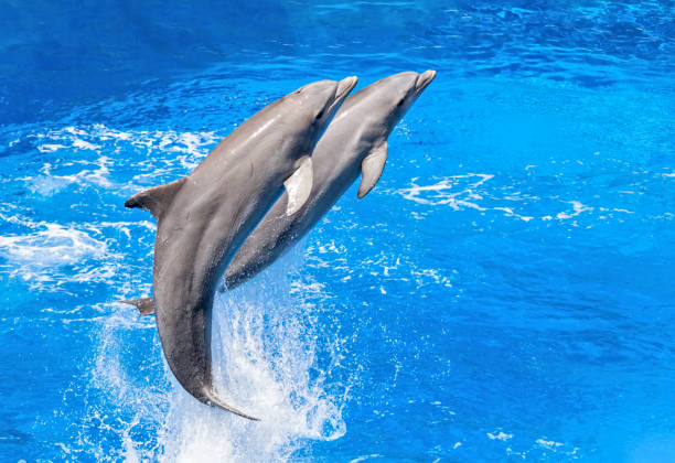 Two dolphins jumping from water close-up Jumping dolphins cetacea stock pictures, royalty-free photos & images