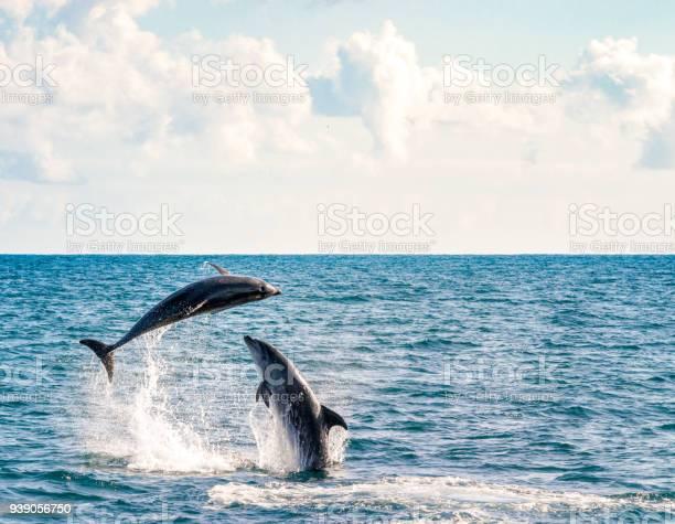 Two dolphins playing picture id939056750?b=1&k=6&m=939056750&s=612x612&h=c57myaacf hoctf tibdgtsfa0yljavirnekbteqaaw=