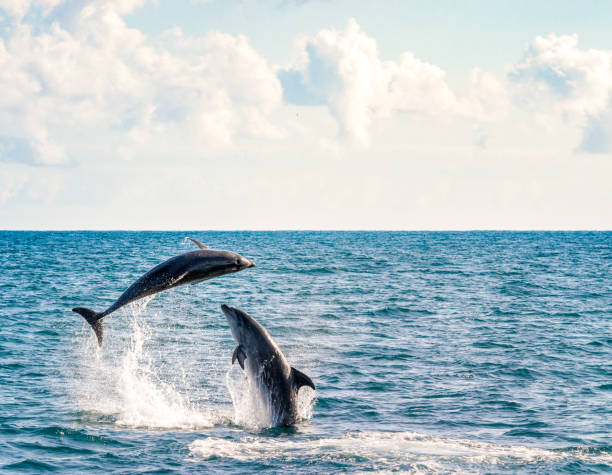 Two dolphins playing Two bottlenose dolphins playing in New Zealand's Bay of Islands area, in the Northlands region of the country. dolphin stock pictures, royalty-free photos & images