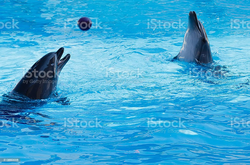 Two dolphins playing volleyball in the pool. stock photo