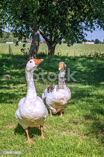 istock Two domestic geese walking on the grass. Rural landscape 1288674633