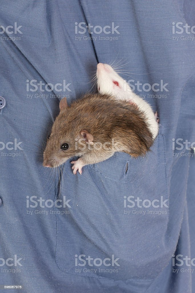 two domestic rat royalty-free stock photo