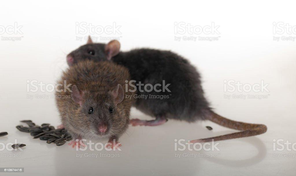two domestic rat stock photo