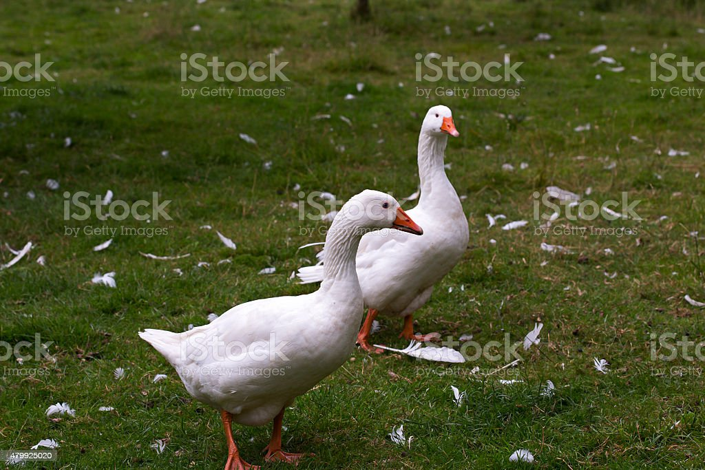 Two domestic white geese stock photo