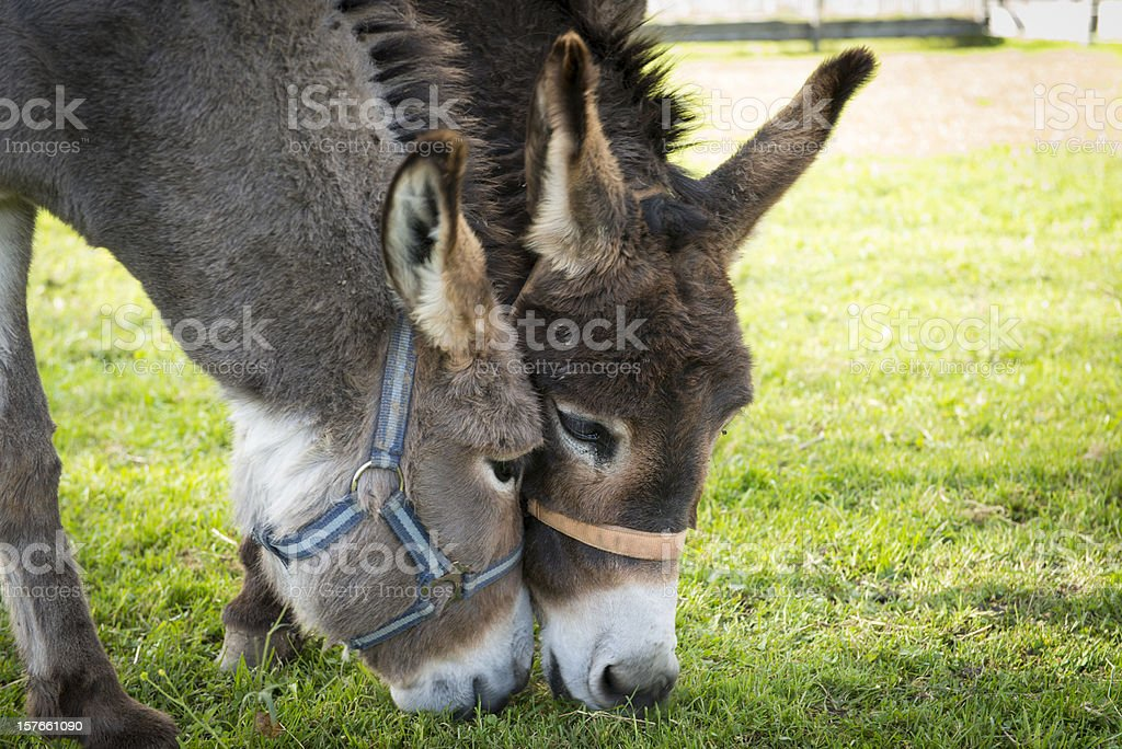 two donkeys eating grass royalty-free stock photo