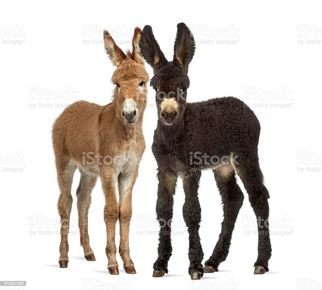 Two donkeys foal, baudet du poitoux isolated on white - Photo