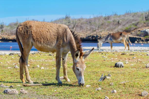 Two donkeys grazing in meadow at waterside stock photo