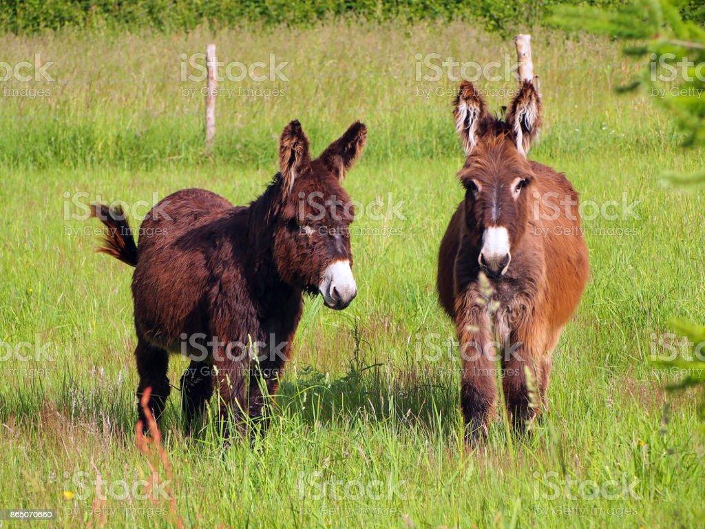 Two donkeys in a grass field - foto stock