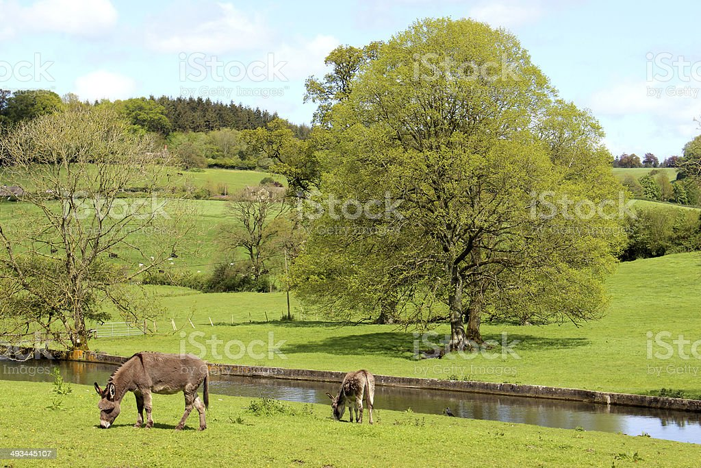 Two donkeys in countryside field at farm, by river image royalty-free stock photo