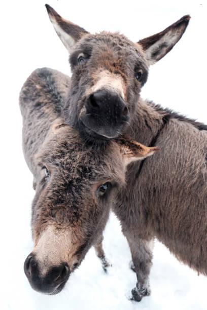 Zwei Esel im Schnee immer nah beieinander – Foto