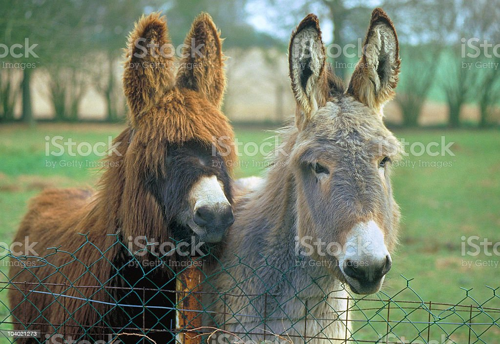Two donkeys, long haired, brown and grey royalty-free stock photo